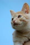 Orange tabby kitten portrait. poster
