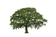 Oak tree in late spring with new leaf growth, over white.