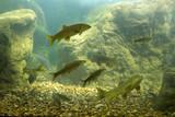 River fishes living in Aquarium poster