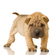Quadro Sharpei in front of a white background