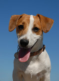 portrait de jack russel terrier poster