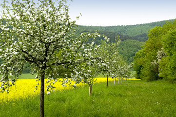 Blossoming of the apple trees