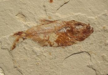 Fish Fossil 1