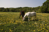 two horses ahre the dandelion on a fresh green meadow.