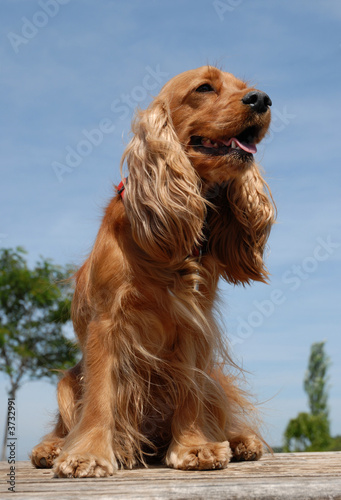 poster of cocker spaniel assis