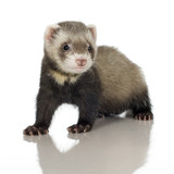 Ferret kit in front of a white background poster