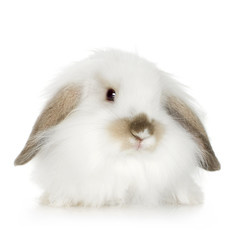 white Lion headed lop rabbit