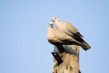 A Pair of Collared Doves Together
