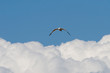 Seagull Above the Clouds