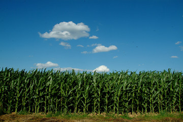 Amish Farm Cornfield in Lancaster PA