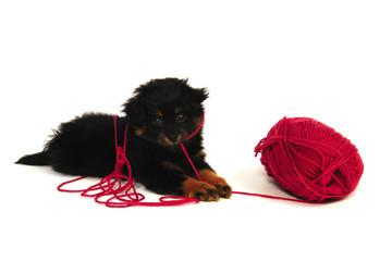Naughty Puppy Isolated Horizontal