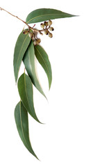 Gum leaves and gumnuts form a border on white background.