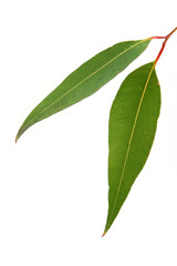 Gum leaves on white background.