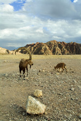 Herd of wild goats on a deserted mountain plateau
