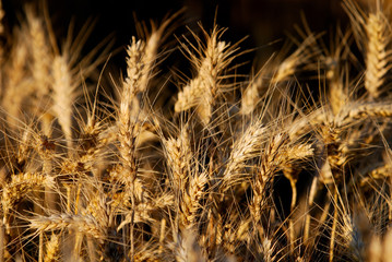 wheat and blue sky