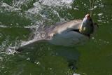 ein Hai hält seine Beute fest Australien_07_1529 poster