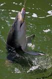ein Hai hält seine Beute fest Australien_07_1530,01 poster