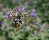 Bumble bee pollinating a flower, summer time poster