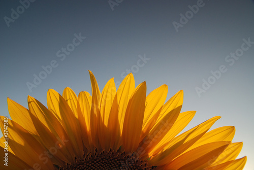 canvas print picture sonflower