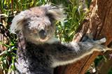 Australian koala in australian wild animal park poster