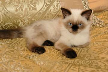 Himalayan Kitten on Gold