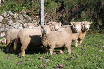 A selection of sheep
