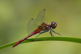 red dragonfly sitting on the leaf,  green blurry background poster