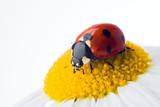 ladybug on flower over white poster