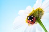ladybug on flower over blue sky poster
