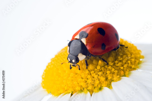 ladybug on flower over white
