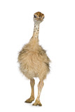 Ostrich Chick in front of a white background