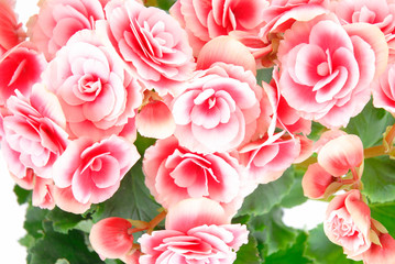Begonia flowering plant - family Begoniaceae .
