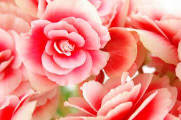 Begonia flowering plant - family Begoniaceae ..