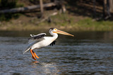 pelican landing, great american pelican in yellowstone park poster