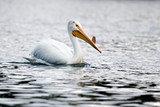 american white pelican - yellowstone national park, wyoming poster