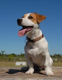 beau jack russel terrier poster