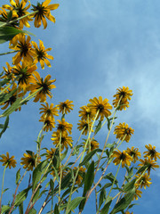 Black-Eyed Susans to the Sky (Rudbeckia hirta)
