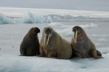 Walruses on the ice