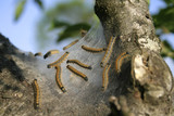 caterpillars weaving their nest for reproduction poster