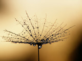 dandelion seed - 3764943