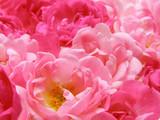 pink pastel rose - 3765139