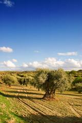 Olive trees landscape