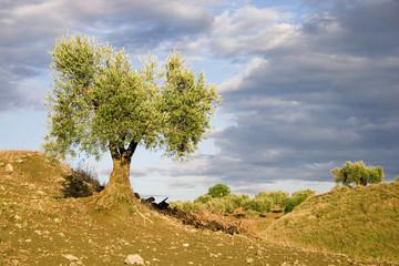 Olive tree II