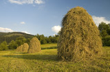 Mountan meadows with cured grass and hills of hay in summer. poster