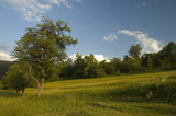 Mountan meadows with cured grass and tree in summer. poster