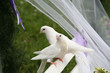 two white wedding doves on a white bench in a wedding ceremony