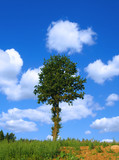 lonely tree against summer sky with cumulus clouds poster