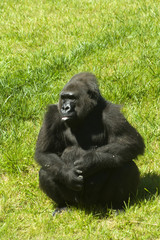 a gorilla on the grass in a zoo