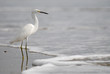the ecuadorian white heron on pacific ocean