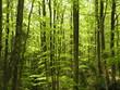 forêt de hêtres, Vercors